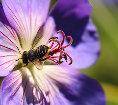 Stuck on you (aussiegall) Tags: autumn flower macro garden native petal bee stamen geranium cranesbill