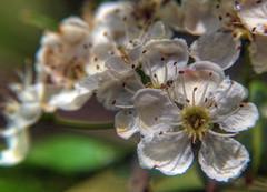 Blossom (Joebelle) Tags: park flower macro geotagged blossom geotag leevalley artisticexpression diamondclassphotographer flickrdiamond