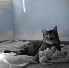 Oda al gato (Alfilmorado) Tags: pets animal cat cutout kat chat gato felino gatto mascota carnivoro lachicadelaspinturas