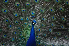 Peacock (The Image Maker) Tags: blue bird beauty nikon display vibrant feathers peacock 1855 d60 bluestblue instantfave