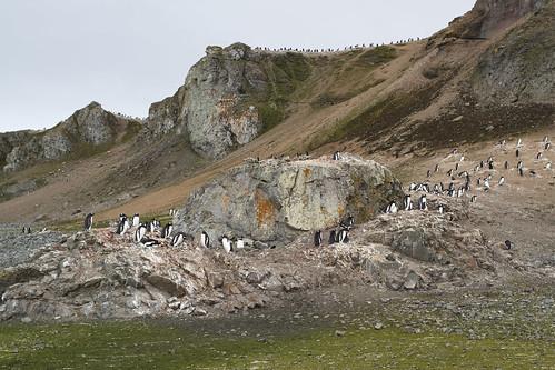 Penguins on Ardley Island, Antarctica