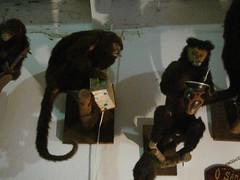 macaquinhos, macacos e chimarrão