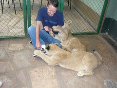 Johannesburg Cubs (baggas) Tags: southafrica lion lionpark