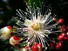 Spiky (pennyeast) Tags: flowers red white plant flower macro tree nature garden southafrica botanical searchthebest capetown plantae mygarden soe defenders eugenia useful westerncape empyrean floweringtree naturesfinest syzygium supershot myrtleberry australiancherry mywinners abigfave flickrgold shieldofexcellence october2007 platinumphoto superbmasterpiece diamondclassphotographer flickrdiamond macromarvels macromix theperfectphotographer absolutelyexciting papaalphaecho magentacherry mawep medicinalaromaticoredible