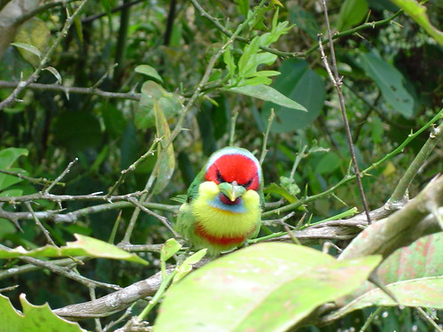 Versicolored Barbet - Peru by jakazar.