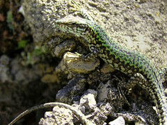 Ocellated lizard enjoying a sunbed (Bn) Tags: travel vacation holiday macro closeup warm italia vivid lizard traveling bec greenlizard italianriviera sunbed hagedis naturesfinest puntachiappa sanrocco platinumphoto anawesomeshot impressedbeauty wowiekazowie ocellatedlizard macromix timonlepidus macromix goldwildlife parelhagedis podarcismuralisnigriventris