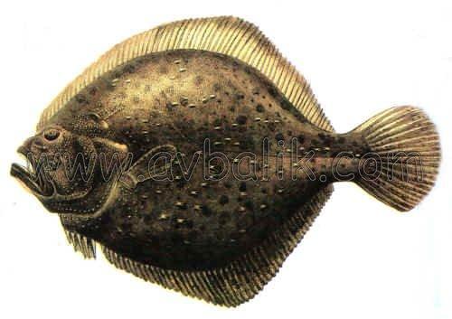 2054360235 8a33e9d0fd kalkan balığı nasıl avlanır