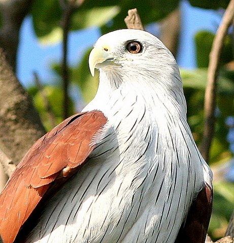 eye of the brahminy kite madivala lake 241107