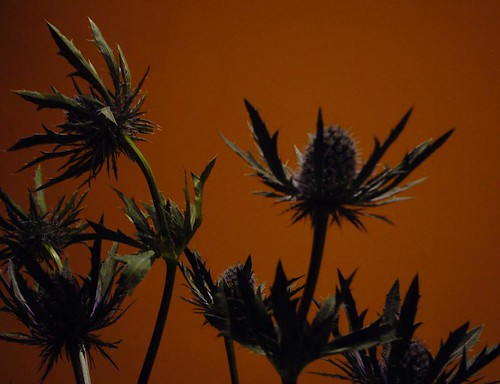 Photograph by Kirsty Hall of thistle against an orange wall
