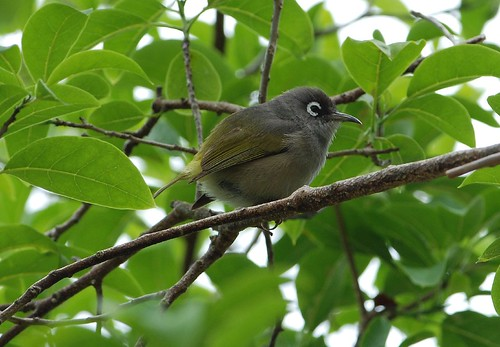 Mauritius Olive White-eye by pinebird.