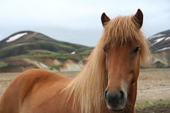 Icelandic horse (Ingiro) Tags: horse landscape iceland icelandic islanda landmannalaugar ingiro interestingness161 i500 laugarvegurinn