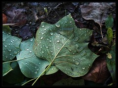 Raindrops (Oana Livia) Tags: rain leaf raindrops livia oana