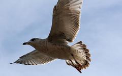 Seagull - 26 (Sujit Mahapatra) Tags: usa bird nature public photography fly wings peace seagull gull flight wing nj edison sujit canonslr sujitphotography
