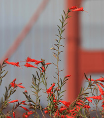 GGB and Flowers (4Durt) Tags: sanfrancisco california flowers goldengatebridge flickrsbest mywinners