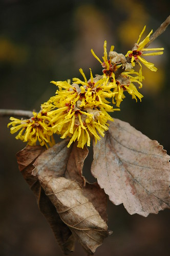 Hamamelis x intermedia 'James Wells'