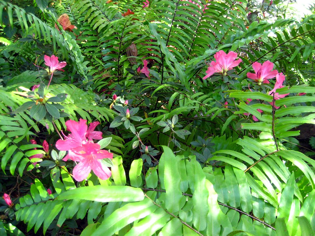 Azaleas and Ferns 20080218