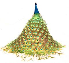 pavo real (Leopoldo Esteban) Tags: madrid onwhite peafowl pavoreal pavocristatus diamondclassphotographer flickrdiamond colourartaward