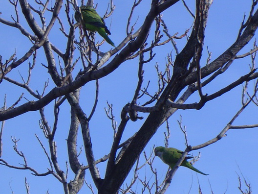 Gowanus Parrots Two