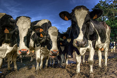 The Cow Whisperer (caese) Tags: nikon bravo cows galicia hdr themoulinrouge cabanadebergantios d40x caese