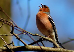 Bird (KILTTI) Tags: bird nature animal fauna spring sweden explore chaffinch birdwatcher specanimal platinumphoto flickraward avianexcellence extraordinarycomposition platinumheartaward kiltti goldstaraward goldsealofqualityaward qualitypixels flickrlovers