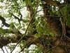 竹山鎮中和里救人老茄苳樹DSCN0177