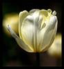 Festival des Tulipes (Ottawa) (LouisY55) Tags: blueribbon tulipe excellence blueribbonwinner photoquebec lysdor