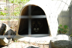 dsd_3854 Another cougar in his shelter at Heaven's Corner - Zoo and Animal Sanctuary, West Alexandria, Ohio, on May 29, '08. (aragh_wolf) Tags: corner heavens