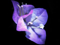 In life, sometimes what seems to be the end, is really just a new beginning (DavidPoh) Tags: white black flower cute gold purple little background happiness september beginning hazel 16 joyful pinkish bougainvilla