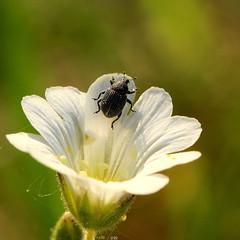 Phytonomus mele (Ramunė Vakarė) Tags: phytonomusmele insect plant curculionidae apion weevil snoutbeetle nature flower bloom macro lithuania eičiai ramunėvakarė