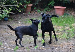 """Say """"Hello!"""" (MaxUndFriedel) Tags: dog pets black dogs nature animal animals garden hunde flowerpassion"""