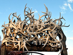 Deer sheds and antlers. (ronjbaer) Tags: found shed deer antlers collection rack nd buck stark muledeer bucks find hunt sheds whitetail antler