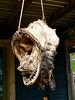 Hang your head! (Lazy B) Tags: cruise fish june norway fishing village head teeth arctic hanging fz5 2007 magerøya kamøyær