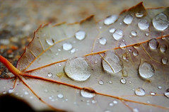 natural (Lani Barbitta) Tags: nature wet water leaf drop explore dew droplet oldphoto waterdrops lani goldstaraward lanibarbitta barbitta