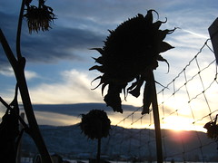 sunsetflower (big-diehl) Tags: sunset dead cloudy sunflower wilting sunsetflower