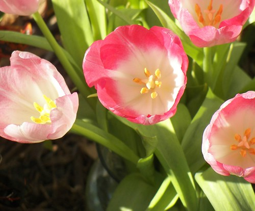 Gentle Tulips in Bloom