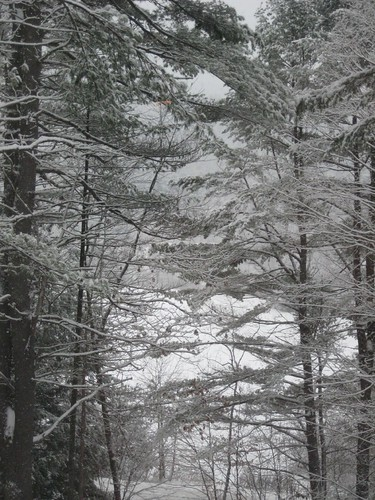 Picture 6: Evergreens in the Snow