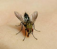 Fly (Tachinidae, Dexiniinae) licking my sweat, Peruvian Amazon (Arthur Anker) Tags: macro peru nature fly amazon rainforest insects flies tachinid diptera tachinidae dexiniinae