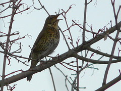 Song Thrush in Stave Hill Ecology Park