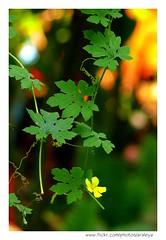 Sweet Guest (Araleya) Tags: life plant green home leaves yellow fence garden thailand asia southeastasia dof sweet spirals line panasonic thong curve bang gentle bua feelgood fz50 nonthaburi beautfiul araleya specnature leicadigital beautfiulmoods
