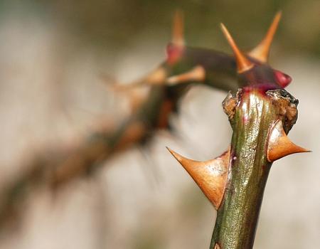 Thorns... PAD #1070