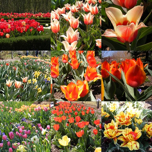 Tulips at Thanksgiving Point