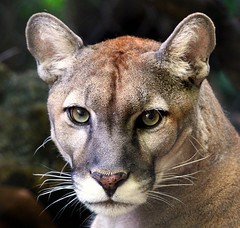 Florida Panther : Only 80 to 100 panthers still remain in Florida, making this one of the most rare and endangered mammals in the world. (dpfunsun) Tags: potofgold naturesfinest floridapanther mouseion specanimal colorphotoaward impressedbeauty westpalmbeachzoo naturewatcher itsazoooutthere