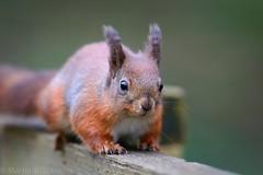 Red Squirrel 5184(6D) (wildlifetog) Tags: red southeast squirrel alverstone isleofwight uk blackmore britishisles britain british england european eos6d wild wildlifeeurope wildlife nature mbiow martin