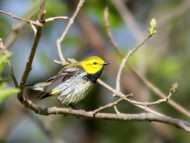 Black-throated Green Warbler 20110506