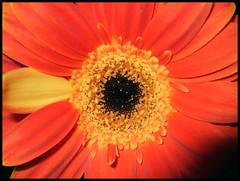 Oddball (38°) Tags: california red flower note 2007 f20