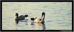 yeahhh gim'Me FIVE... !!! (G.Hotz Photography (busy as a bee =)) Tags: lake animal austria see sterreich swan wasser sony natur bregenz 100 alpha bodensee schwan soe tier 2007 natrue constanze aplus vorarlberg 10faves flickrgolfclub ondarena