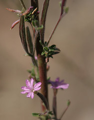 Autumn Willowherb (NatureShutterbug) Tags: california pink fall flora plantae santabarbaracounty onagraceae figueroamountain epilobium eveningprimrosefamily 4petals magnoliophyta magnoliopsida myrtales taxonomy:class=magnoliopsida 4sepals taxonomy:kingdom=plantae taxonomy:order=myrtales taxonomy:family=onagraceae epilobiumbrachycarpum autumnwillowherb panicledwillowherb taxonomy:phylum=magnoliophyta taxonomy:genus=epilobium taxonomy:species=brachycarpum taxonomy:binomial=epilobiumbrachycarpum taxonomy:common=panicledwillowherb