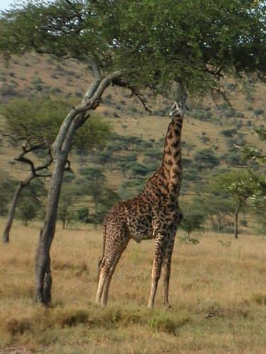 Tanzanie - Serengeti0093