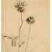 Robert Holmes_clover blossoms