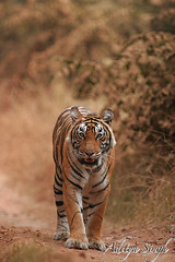 Tiger on a forest road 3 (dickysingh) Tags: wild india nature animals outdoor wildlife tiger bigcat aditya predator rajasthan ranthambore singh smrgsbord bengaltiger ranthambhore dicky tigerreserve specanimal animalkingdomelite naturewatcher bfgreatesthits adityasingh dickysingh ranthamborebagh theranthambhorebagh mailciler